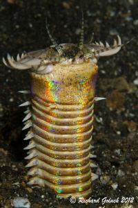 Bobbit Worm-Lembeh by Richard Goluch
